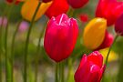 Tulips in the Breeze by Elaine Teague