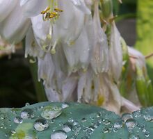 Micro Lily and Pearl droplets by Rod Raglin