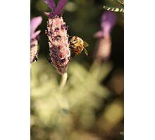 Honey Bee on Lavender Photographic Print