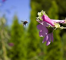 Bee and pink flower by Rod Raglin