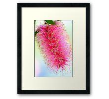 Bright Pink Bottlebrush Framed Print