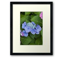 hydrangea in the garden Framed Print
