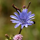 Wildflowers - Chickory by AnnDixon