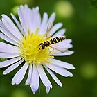 Hoverfly On Daisy by relayer51