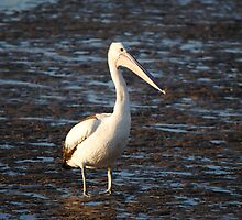 Pelican at Low Tide by purpletanya