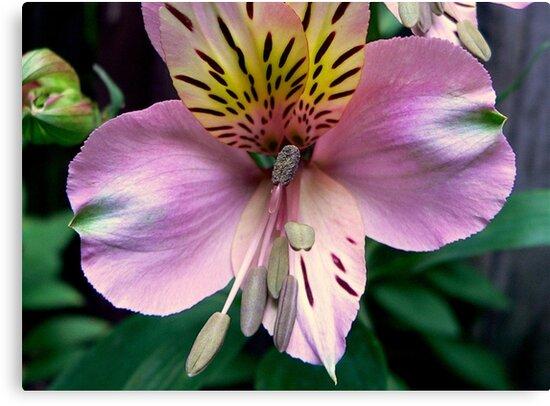Alstroemeria or Peruvian Lily II by Tom Newman