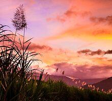Sugar Cane in Far North Queensland by Silken Photography