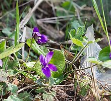 violets in the lawn in spring by spetenfia