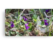 violets in the lawn in spring Canvas Print
