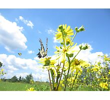 Eastern Tiger Swallowtail butterfly on wildflowers Photographic Print