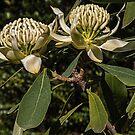 Cream white Waratah flower Leith Park Victoria 20160920 7518 by Fred Mitchell