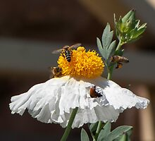 Bees & Bugs sharing a flower by DPalmer