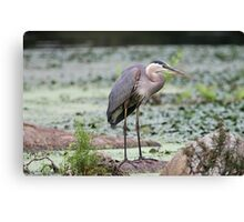 Here I stand - Great Blue Heron Canvas Print