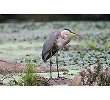 Here I stand - Great Blue Heron Photographic Print