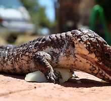 Bobtail Goanna dining out! by adbetron