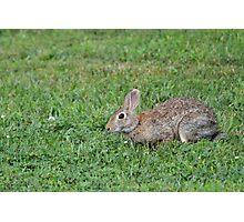 Wild Brown Bunny Photographic Print