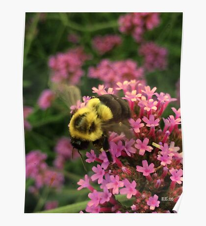 Bumble Bee in Late Summer Poster