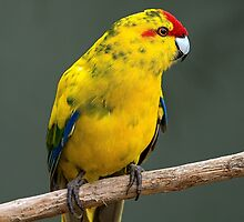 Red Crowned Parakeet by Beverley Goodwin