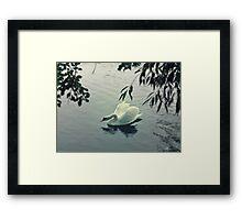 Grace - Swans on the Avon River Framed Print