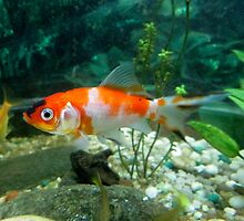 Goldfish 1 by Furiarossa