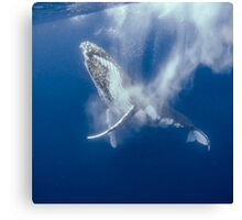 Whale Clapping Canvas Print