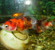Goldfish 2 by Furiarossa