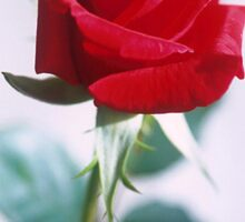 Beautiful Red Rose Sticker