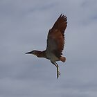 Nankeen Night Heron by lezvee
