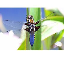 Broad Bodied Chaser Dragonfly Photographic Print