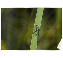 Pond Jewel - Blue and Green Dragonfly Poster