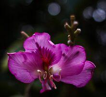 Purple Ebony by Mario Morales Rubi