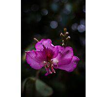 Purple Ebony Photographic Print