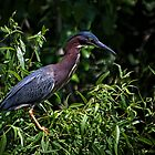 Green Heron by Victoria Jostes