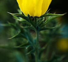 Little Poppy by Mario Morales Rubi