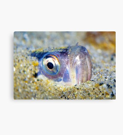 Buried Sandfish is watching you!  Canvas Print