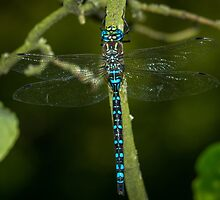 Dragonfly by RandyHume