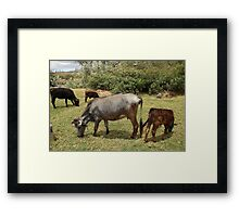 Cows in a Farmers Pasture Framed Print