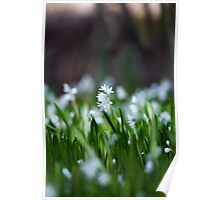 Squill Flowers Poster
