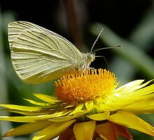 Cabbage White on Yellow Daisy by Margaret Saheed