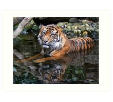 Sumatran Tiger Keeping Cool In Summer Art Print