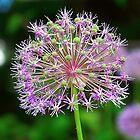 Allium Beauty - Virginia State Arboretum by James Brotherton