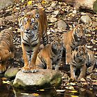 Sumatran Tiger Mother With Her Four cubs by Margaret Saheed