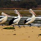 pelican family by geophotographic