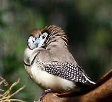 Double-barred Finch Tete-a-tete by Margaret Saheed