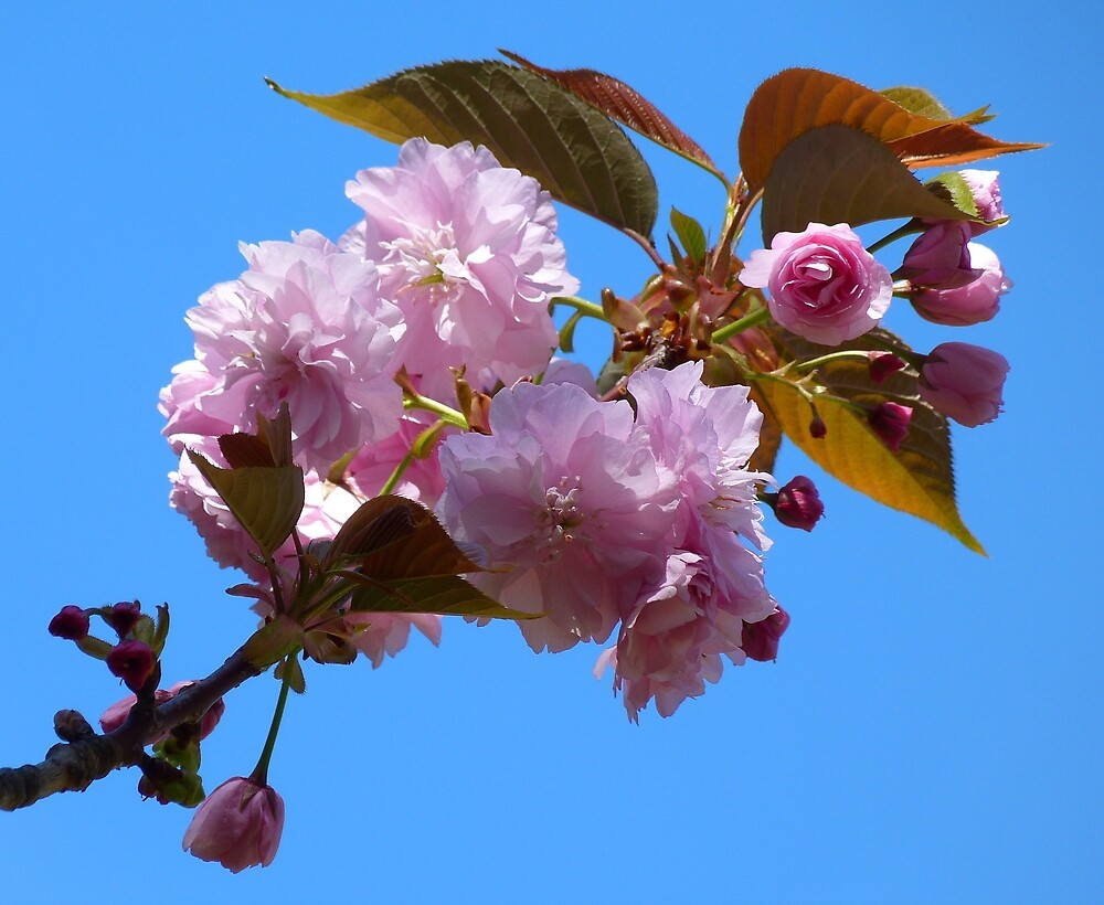 Cherry Blossom Time by Margaret Saheed