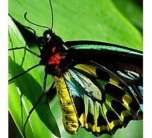 Colors Of The Cairns Birdwing Butterfly Photographic Print