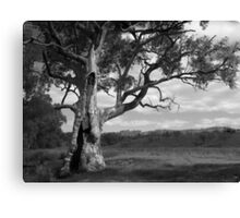 Scary Tree - Mt. Brown Creek Canvas Print