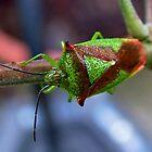 Leaf/Shield Bug : Hemiptera by AnnDixon