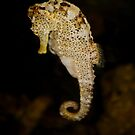 Sea Horse by AnnDixon