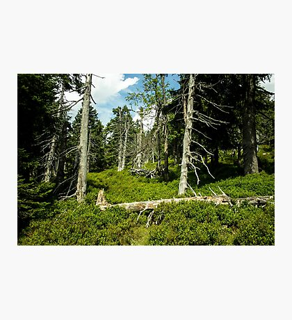 Old Alley of Trees/Forest - Nature Photography Photographic Print